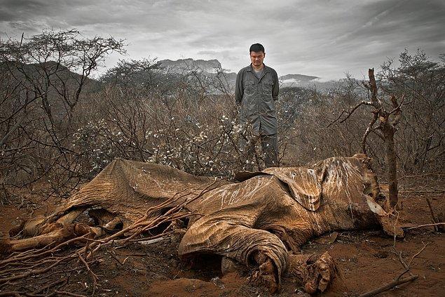11. İnsanlar tarafından canice öldürülmüş nesli tükenmekte olan fil.