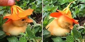 Taze Nane Etkisiyle Mayışan Yavru Ördeğin Aşırı Tatlı Anları