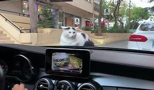 Ne Olacak Kedilerin Bu Kaput Sevdası: Aracın Kaputu Üzerinde Sülalesi Rahat Bir Şekilde Giden Kedi