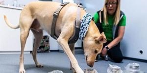 Finlandiya'da Hassas Koku Eğitimli Köpekler Koklayarak Koronavirüs Tespiti Yapacaklar: PCR Testlerinden Daha Güvenli