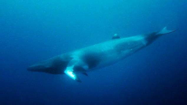 4. Balinalar belli bir yaşa geldiğinde oksijen için yüzeye ulaşamayacak kadar güçsüz olurlar. Bu yüzden boğularak hayatlarını kaybederler.