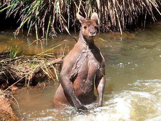 5. Avustralya'da bulunan 193cm uzunluğundaki bu devasa kanguru: