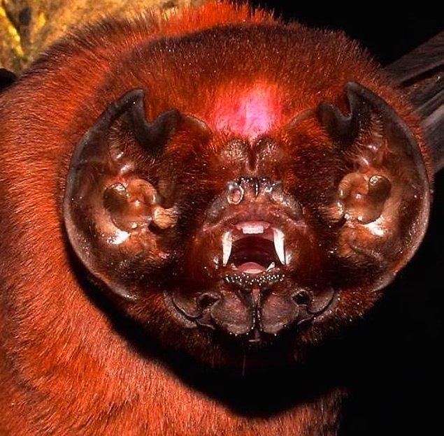 11. Hayalet suratlı yarasa (Mormoops megaphylla):