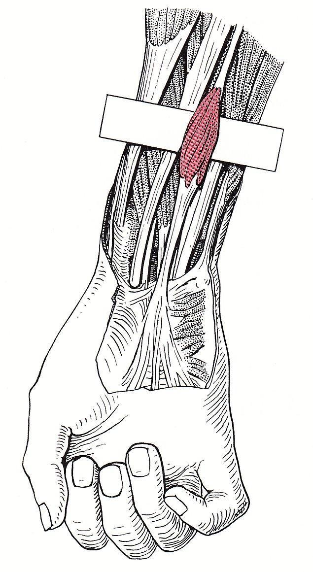 Gördüğünüz tendon, palmaris longus kasına bağlanır ve günümüzde insanların %10 ila %15'inin bir ya da iki kolunda da yok olmuş durumdadır.