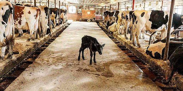 1. Doğan yavrunun süt içmesi engellenerek tüm süte üretim için el koyuluyor...