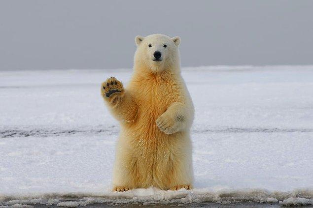 1. Eğer bir kutup ayısı ciğeri yerseniz ölürsünüz. İnsanlar bu kadar A vitaminini kaldıramaz.