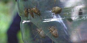 Kadıköy'de Kokarca Böceği İstilası: '300 Tarım Ürününe Zarar Verebilir'