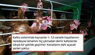 Kafes Sistemi Yumurtacılığıyla Tavuklara Yapılmakta Olan Eziyetin Boyutlarını Öğrenince İçiniz Sızlayacak