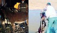 Ahbap Yine İmdada Yetişti: Kars'ta İşkence Yapılarak Göle Atılan Sıpa Ferdinand'ın Yanına Gönderilecek