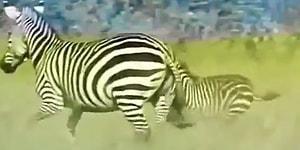 Aslana Yem Olmak Üzere Olan Yavrusunu Aslanın Ağzından Kurtaran Anne Zebra