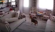 İzmir Depremi Sırasında Evin İçindeki Köpeğin Depremi Önceden Hissettiği ve Deprem Sırasında Yaşadığı Panik Anları