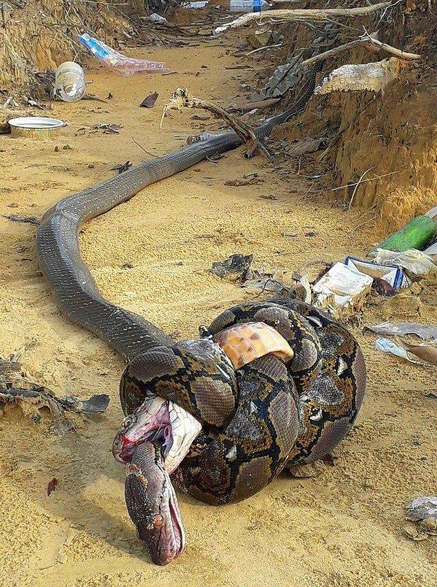 6. Piton vs kral kobra:
