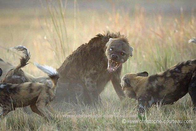 8. Kahverengi sırtlan afrika yaban köpeklerine karşı: