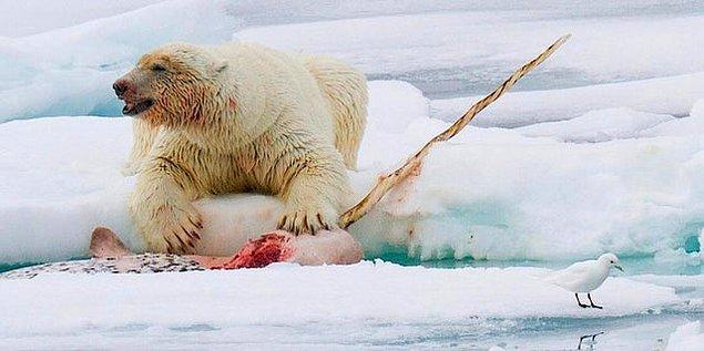 10. Deniz gergedanı yiyen bir kutup ayısı: