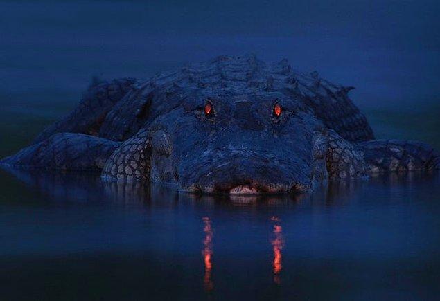 12. Gece fotoğraflanan ürkütücü timsah: