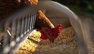 Östrojen Hormonu, Antibiyotikler, Kimyasallar! Tavuk Etindeki Hilelerle Sağlığımız Nasıl Tehlikeye Atıyorlar?