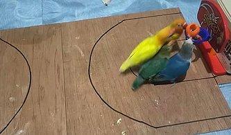 2'ye 2 Basketbol Maçı Yapan Kuşların Kıyasıya Mücadele Ettikleri Anlar