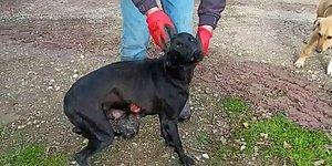 Adapazarı'nda İğrenç Olay! Yaralı Halde Bulunan Köpeğe Tecavüz Edilmiş