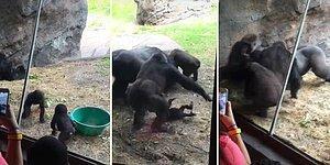 Yavru Gorillerin Arasındaki Gerginliğe Ebeveynleri de Dahil Olunca Ortalık Savaş Alanına Döndü