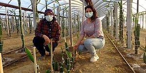 Sinema Setini Bıraktı, 150 Bin TL Yatırımla Sera Kurup Annesiyle Ejder Meyvesi Üretimine Başladı