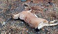 Pülümür'de Dağ Keçisini Öldüren 3 Kişiye 83 Bin 331 TL Ceza