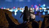 Eşlerini Kaybetmiş İki Penguenin Tesellisi, Fotoğraf Ödülü Getirdi: 'Saatlerce Şehrin Işıklarını İzliyorlar'