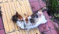Hayvan Hakları Yasası İçin Ne Bekleniyor? Antalya'da Bir Kedi Bacakları Kesilmiş Halde Bulundu...