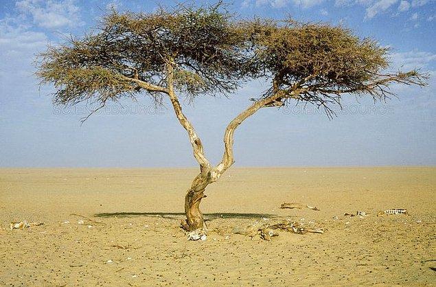 11. Nijer'de 'dünyanın en yalnız' ağacı bulunur.