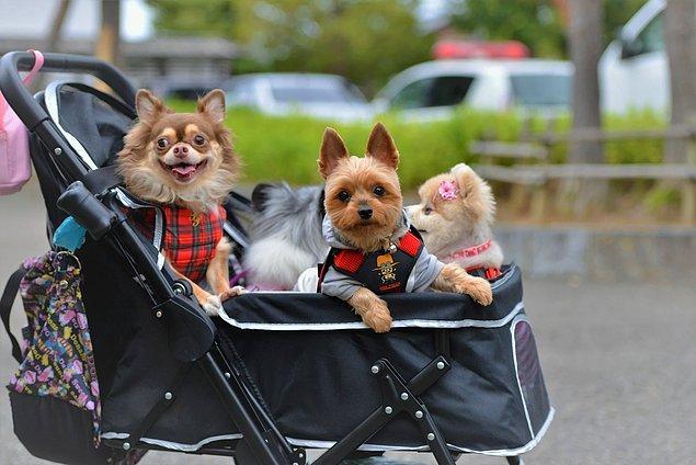 22. Bebek arabalarında çocuklar yerine köpekler oturur.