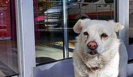 Ambulansın Peşinden Koştu: Sahibi Tedavi Gören Köpek, 5 Gündür Hastane Kapısında