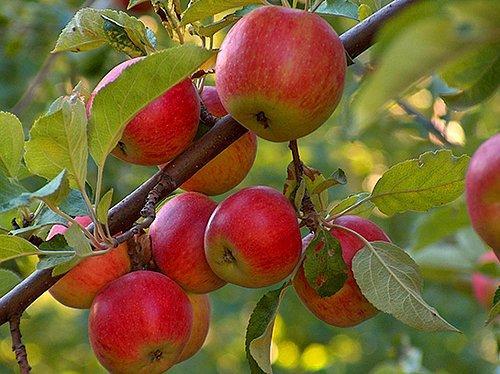 Ağacı kimse eğemez, fakat meyve vermeye başlarsa kendiliğinden eğilir.
