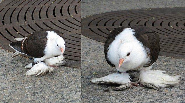 """11. """"Ayağında fazladan kanatları varmış gibi duran bir güvercin"""""""