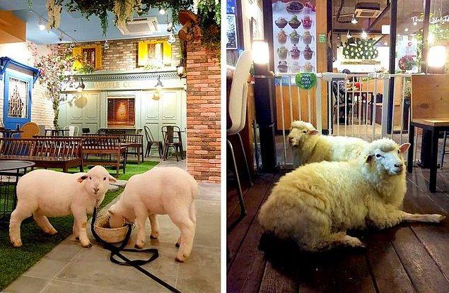 3. Tek başınızaysanız ve yanınızda biri olsun istiyorsanız, canlı koyunların olduğu bir kafede yemek yiyebilirsiniz.