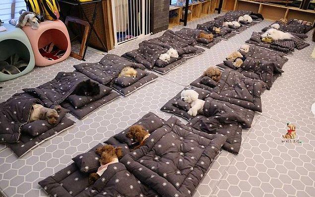 6. Kore'de köpekler için yapılmış bir anaokulu vardır. Bu anaokulunda uyku saati, yürüyüş saati gibi aktiviteler bulunuyor.