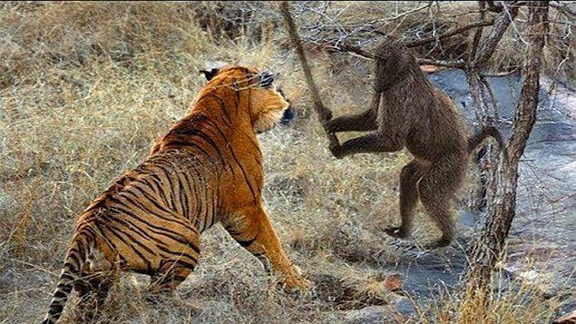 1. Vahşi doğada insansı maymunlar, yavru kaplanların kulaklarını ve kuyruklarını çekerek; bunun yanında kaçtıklarında onları yakalayarak kendilerine göre bir oyun geliştirebiliyor.