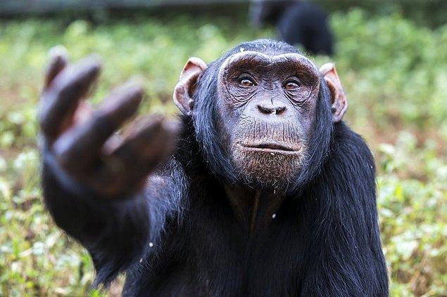 2. Şempanzeler, insanlar gibi sözlü iletişim kuramamalarına rağmen işaret diliyle birbirleriyle anlaşıyor.