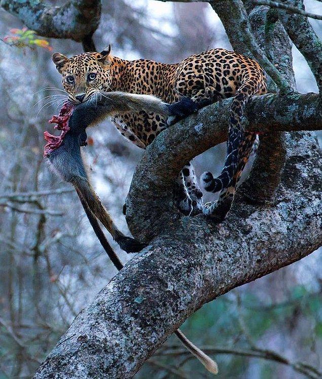 """11. """"Langur yiyen bir leopar:"""""""