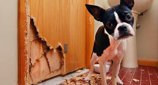 6. Hareketli bir köpeğiniz varsa ve siz tüm gün evde yoksanız, evde canı sıkılıyor olabilir.