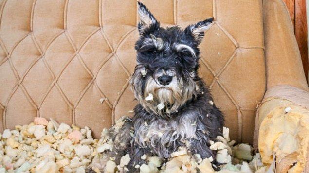 15. Her şeyi yaptım ama köpeğim eşyaları parçalamaktan vazgeçmiyor diyorsanız, bir köpek eğitmeninden destek alabilirsiniz.