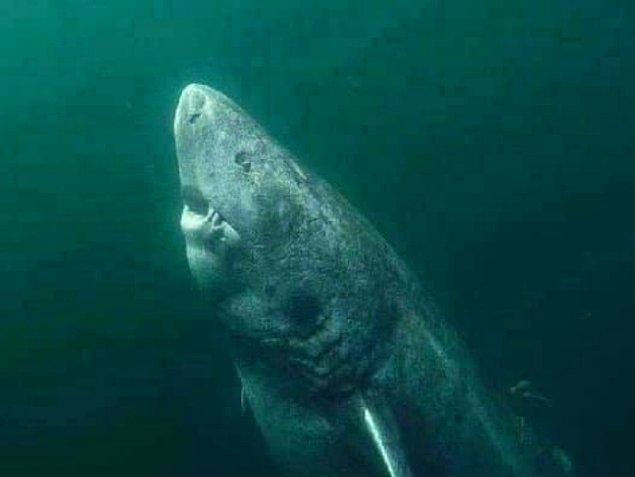 """4. Yaklaşık 400 yaşında olan bu Grönland Köpek balığı, Dünya üzerindeki """"en yaşlı omurgalı"""" olarak adlandırıldı."""
