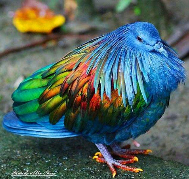 21. Gökkuşağı renkli tüyleriyle dodo kuşunun yaşayan en yakın akrabası olan nicobar güvercini Hint ve Pasifik Okyanusu'ndaki kıyıya uzak adalarda yaşamaktadır.