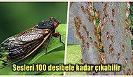 17 Yılda Bir Topraktan Yeryüzüne Çıkan 'Brood X' Ağustos Böceği Sürüsüyle İlgili Birbirinden İlginç Bilgiler