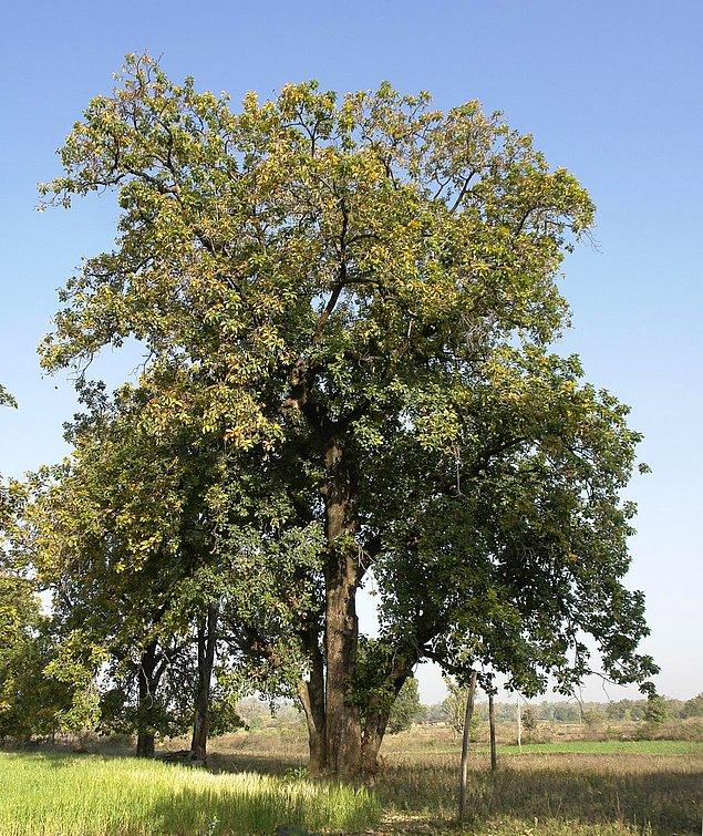 Hızlı büyüyen Mahua ağacı, 20 metreye kadar uzayabilir.