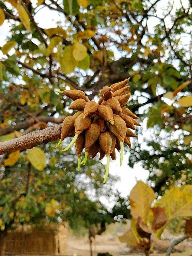 Çiçekler aynı zamanda şurup yapımında kullanılıyor.