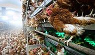 Vatandaşı 'Garanti Kupon' Vaadiyle Dolandıran Şebeke Tavuk Çiftliği Kurmuş
