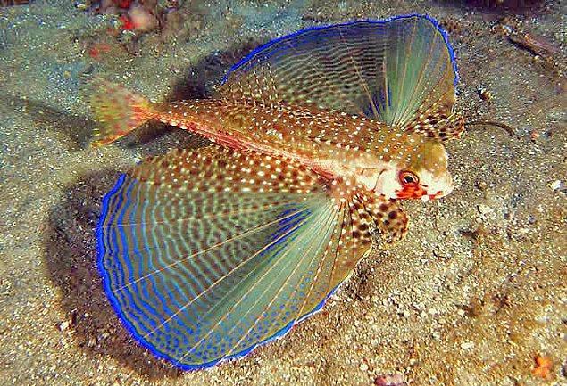 4. Uçan kırlangıç balığı
