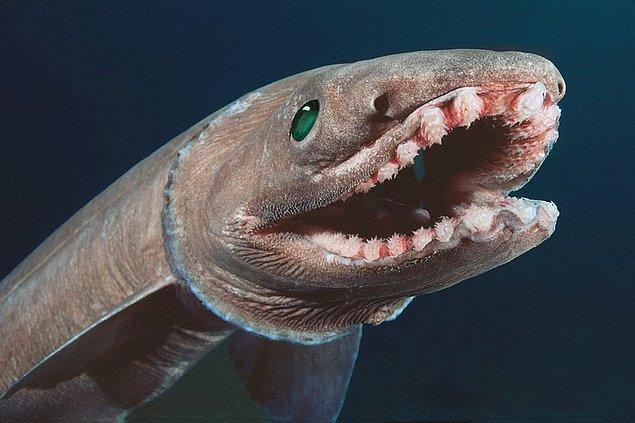 8. Fırfırlı köpek balığı