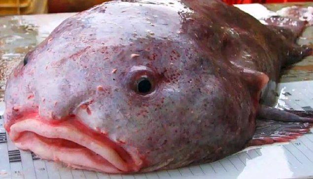 12. Damla balığı/ blabfish