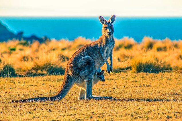 """19. """"Benim için en büyük şok, araba çarpmış bir kanguru görmekti. O zaman çok şaşırmıştım çünkü sadece hayvanat bahçesinde kanguru görmüştüm. Şimdi düşününce mantıklı geliyor."""""""
