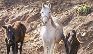 Kayıp Atlarla İlgili Yeni İddia: 'Birçoğu Irak'a Satıldı, Satışa Uygun Olmayanlar Mezbahanede Kesildi...'
